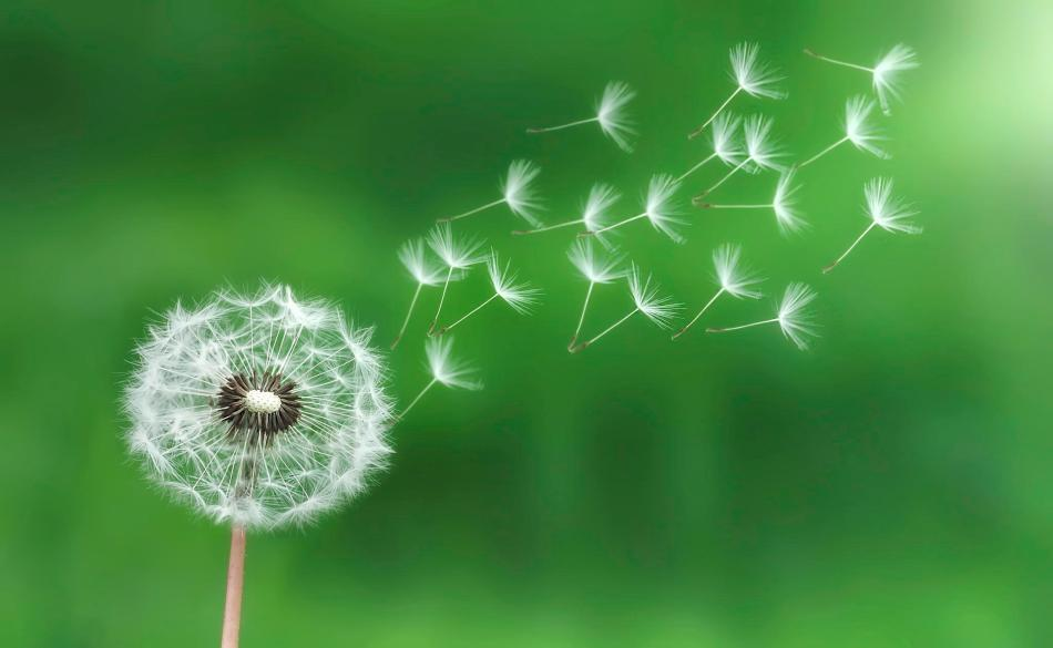 dandelion in the breeze morning green