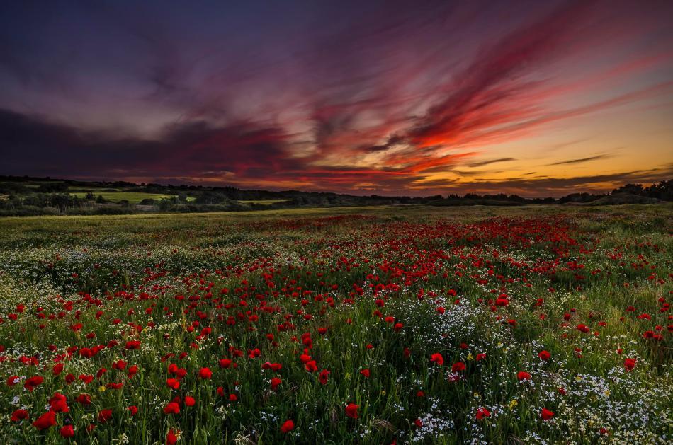 Spring Red Poppy Heaven Kos Greece George Papapostolou